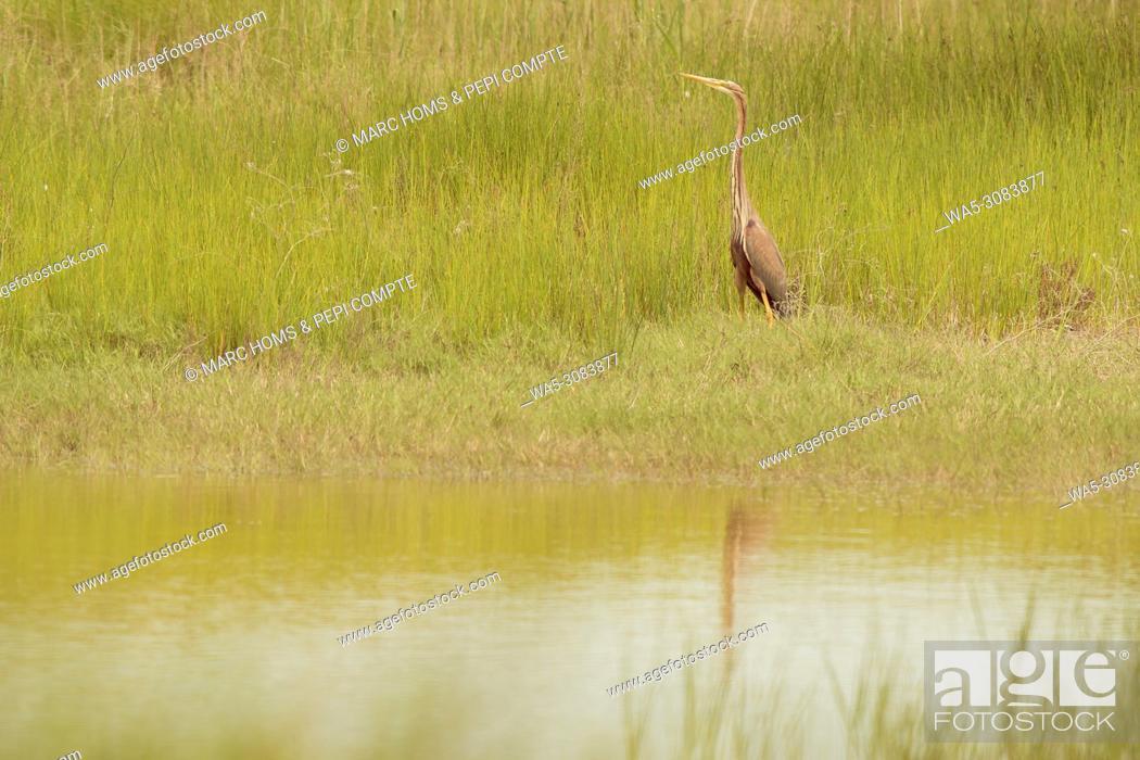 Imagen: Purple Heron in Aiguamolls de l'empordà wetlands, Catalonia, Spain.
