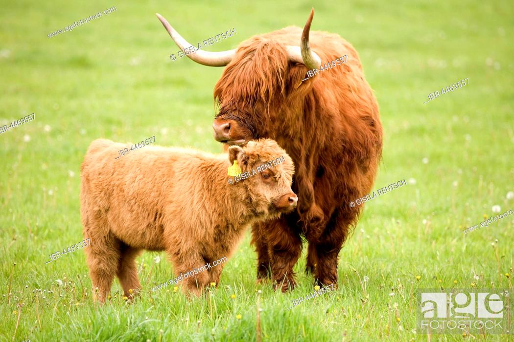 Stock Photo: Scottish Highland cattle (Bos taurus), mother with calf on a pasture, Scotland, United Kingdom.