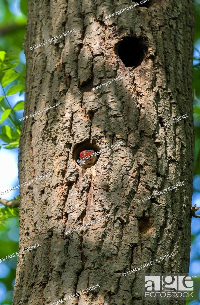 Stock Photo: Great spotted woodpecker (Dendrocopos major) Nestling peering from nest cavety, Herefordshire UK. May 2020.