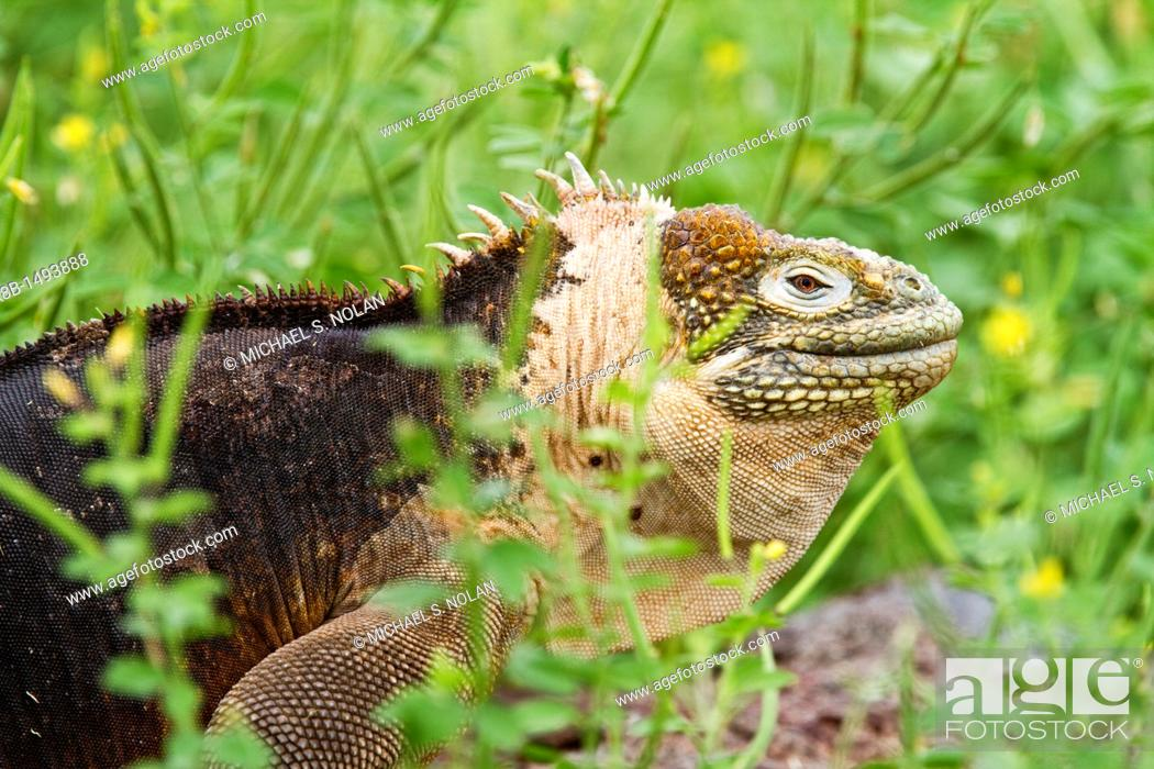 Stock Photo: The very colorful Galapagos land iguana Conolophus subcristatus in the Galapagos Island Archipelago, Ecuador MORE INFO This large land iguana is endemic to the.