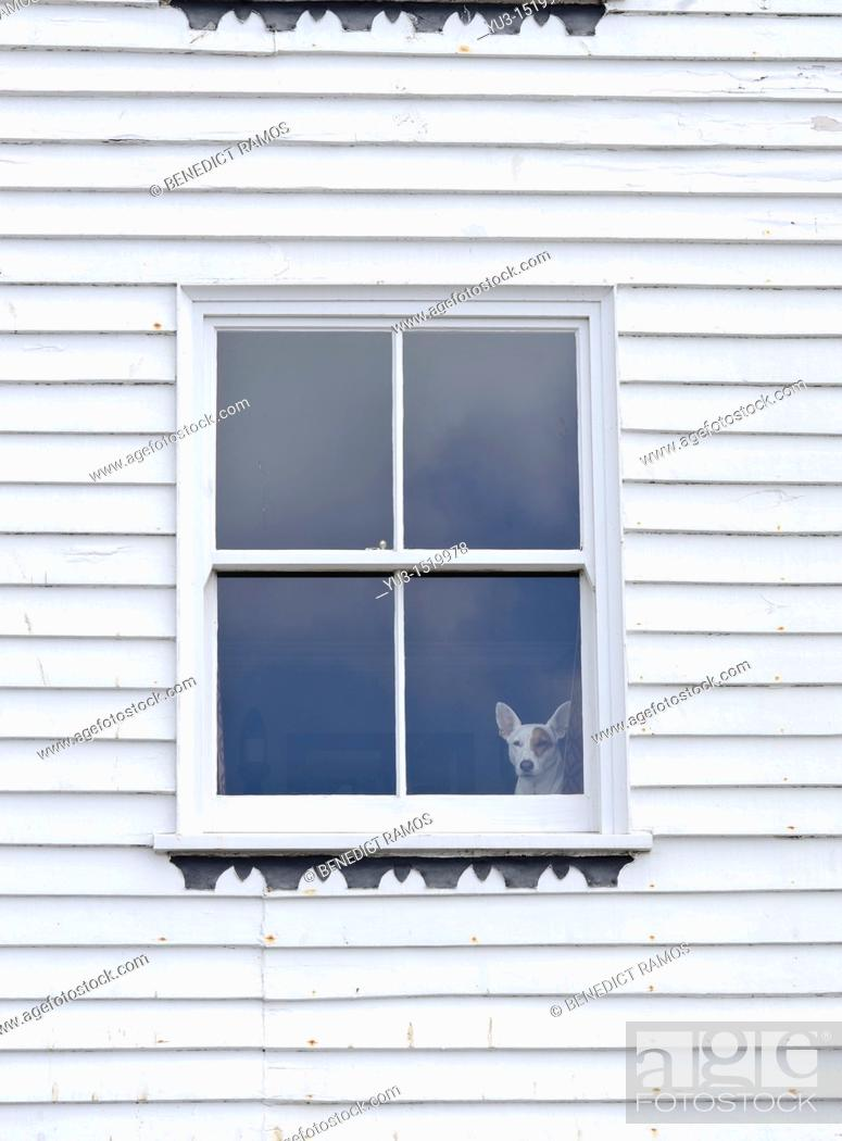 Stock Photo: Small dog looking out of window in white painted woodframe house, Hastings, East Sussex, England, UK.