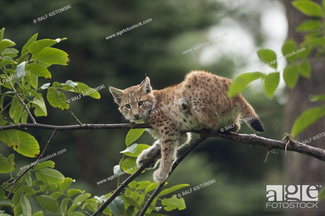 Stock Photo: Eurasian Lynx ( Lynx lynx ), cute cub resting in tree, climbing, watching, looks funny, Europe.