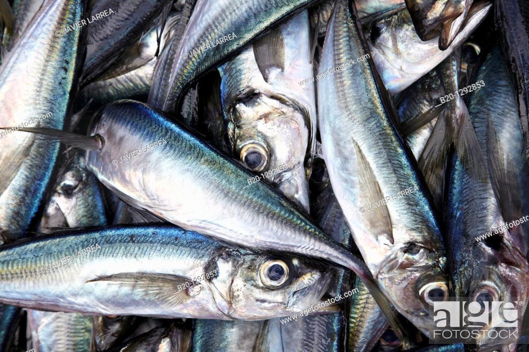 Stock Photo: Mackerels at fish market, Santoña, Cantabria, Spain.