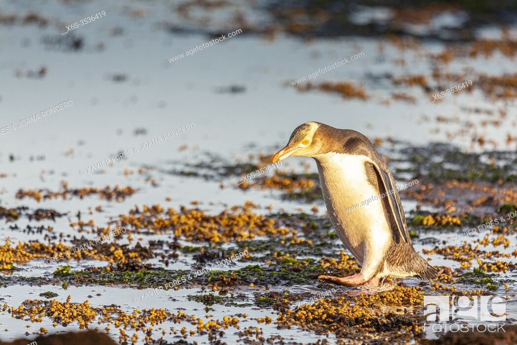 Imagen: Yellow-eyed Penguin - Megadyptes antipodes - or Hoiho, Curio bay, South Island, New Zealand.