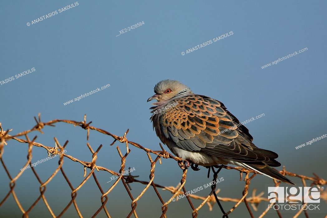 Stock Photo: European turtle dove Streptopelia turtur, Crete.