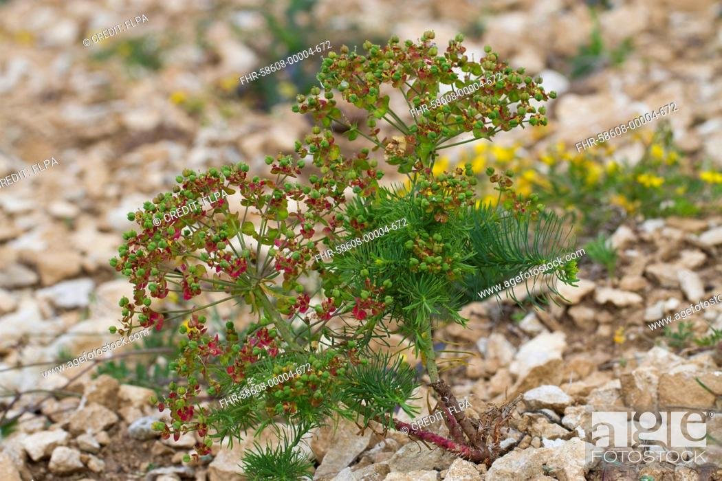 Stock Photo: Cypress Spurge (Euphorbia cyparissias) in fruit, growing in broken limestone, Causse de Gramat, Massif Central, Lot Region, France, May.