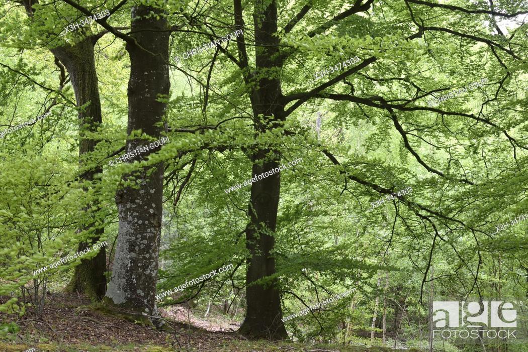 Imagen: hetres, foret de Rambouillet, departement des Yvelines, region Ile de France, France, Europe/ beech trees, forest of Rambouillet, Yvelines department.