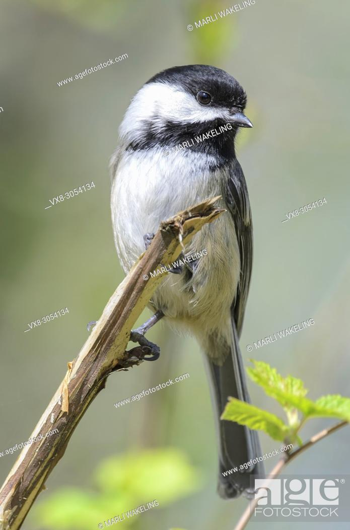 Stock Photo: Black-capped chickadee, Poecile atricapillus. When the black-capped chickadee issues its warning call, the number of notes it vocalizes describes the size of.