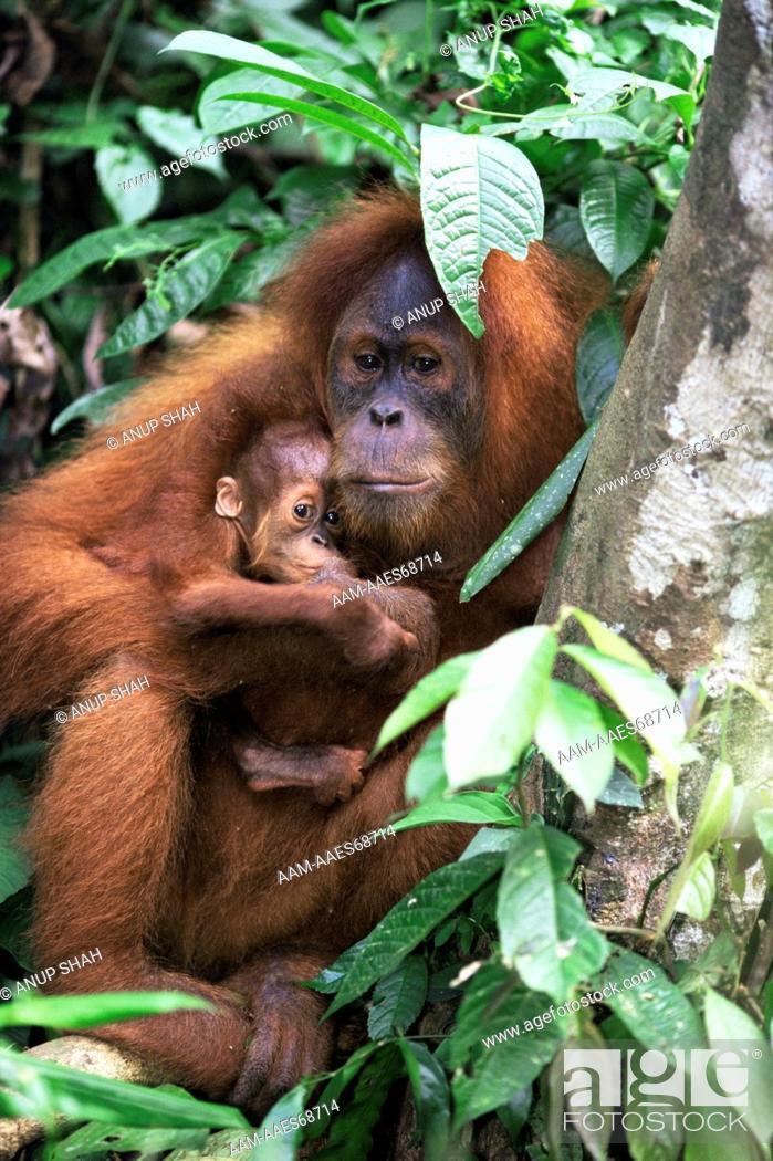 Stock Photo: Sumatran orang utan 9 year old female holding 1 month old baby, sheltering from rain (Pongo pygmaeus abelii) Gunung Leuser National Park, Sumatra, Indonesia.