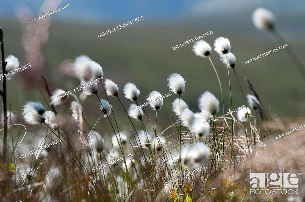 Stock Photo: Cotton grass.