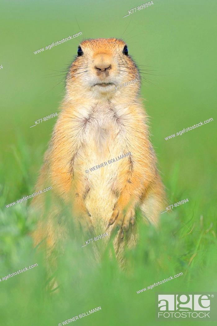 Stock Photo: Black-tailed Prairie Dog (Cynomys ludovicianus). Windcave N.P., South Dakota, USA.