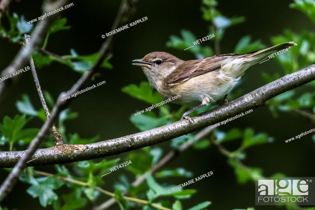 Stock Photo: Germany, saarland, bexbach - A garden warbler is sitting on a branch.