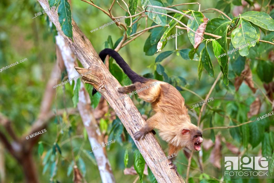 Stock Photo: South America, Brazil, Mato Grosso, Pantanal area, Black-tailed marmoset (Mico melanurus).