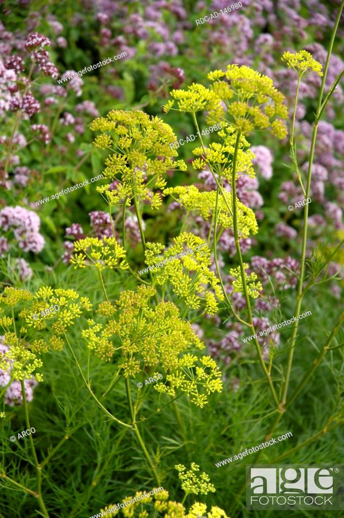 Stock Photo: Giant Fennel Ferula gummosa.