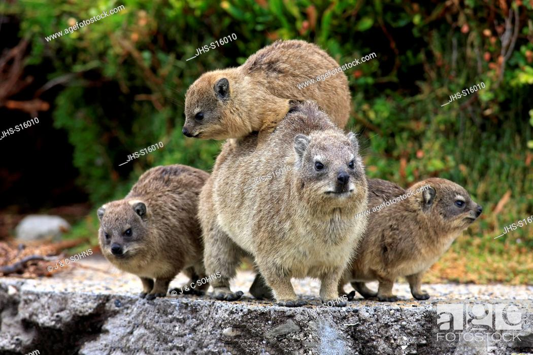 Stock Photo: Rock Dassie, (Procavia capensis), mother with three youngs, Betty's Bay, Western Cape, South Africa, Africa.