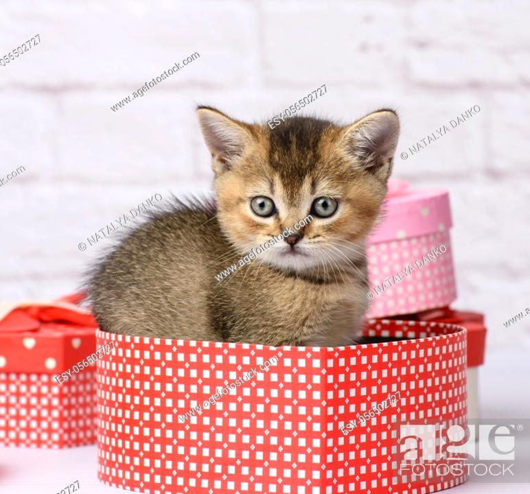 Stock Photo: cute kitten Scottish golden chinchilla straight breed sits on a white background and boxes with gifts, festive background.