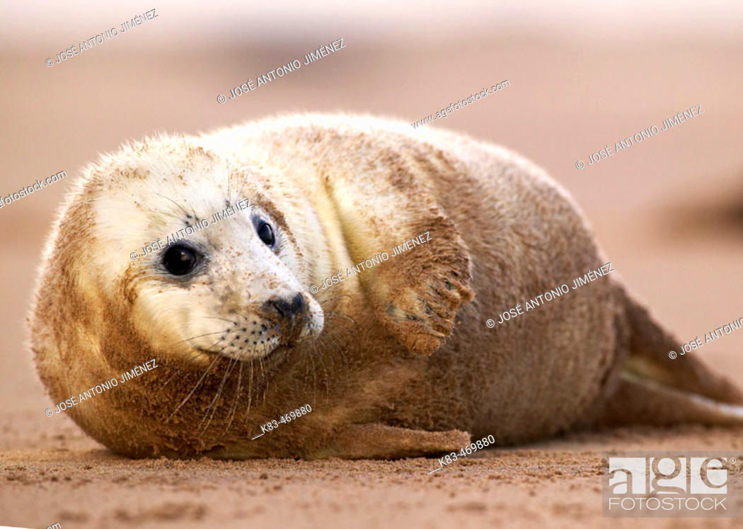 Stock Photo: Grey Seal (Halichoerus grypus). Donna Nook National Nature Reserve, England. UK.