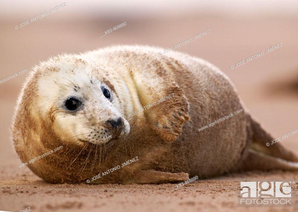 Stock Photo: Grey Seal (Halichoerus grypus). Donna Nook National Nature Reserve, England. UK.