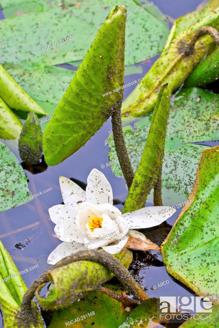 Stock Photo: White Water Lily with aphids, Lower Saxony, Germany / Nymphaea alba / Aphid.