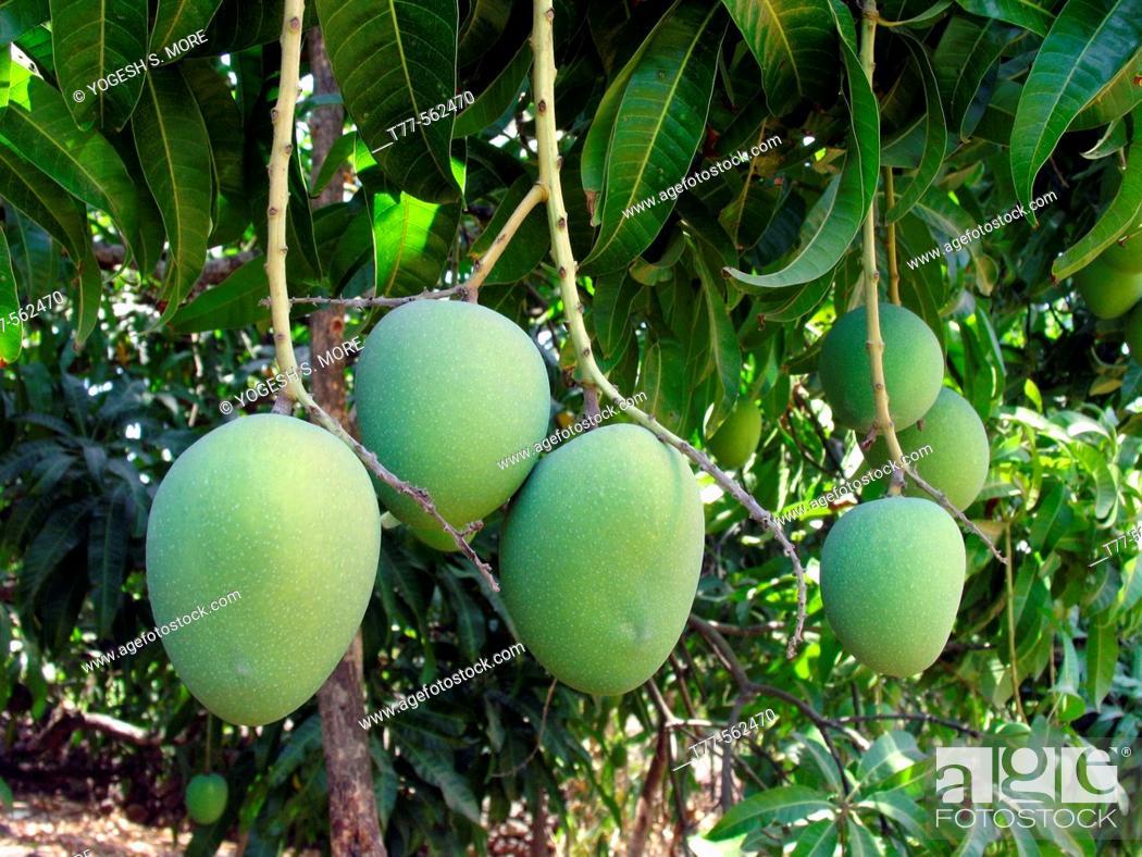 Stock Photo: Alphonso mango hanging on a tree. Mangifera indica L. - Anacardiaceae, Alphonso mango. The flesh of a mango is peachlike and juicy.