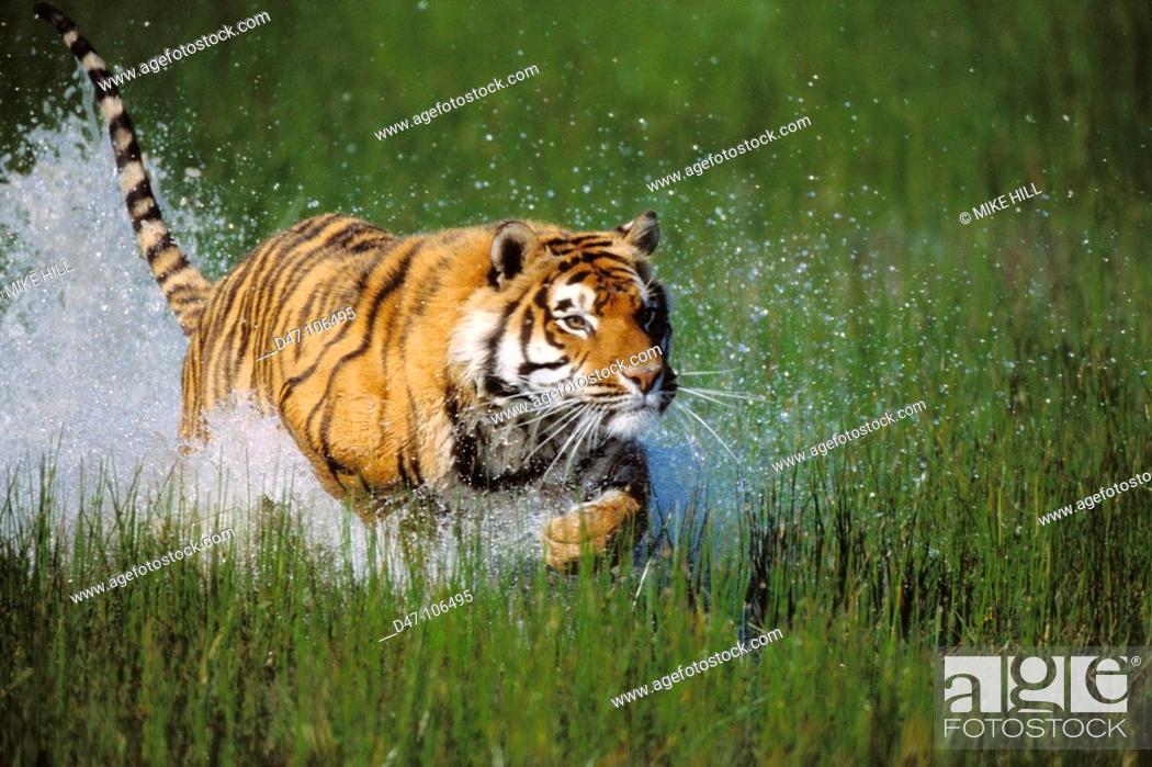 Stock Photo: Tiger (Panthera tigris).