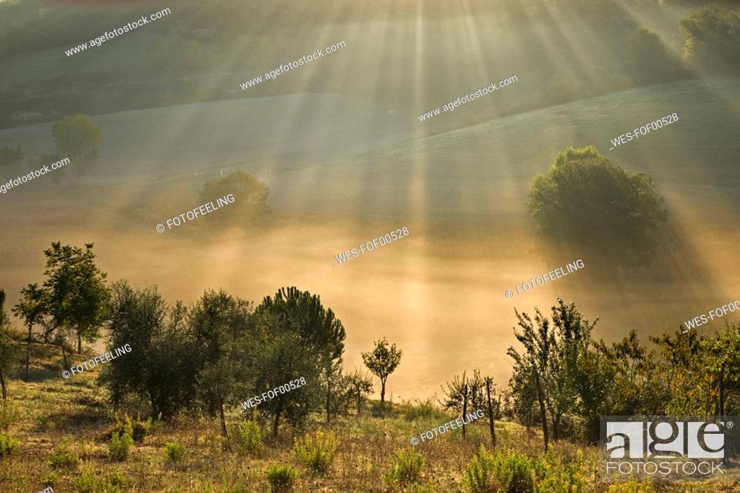 Stock Photo: Italy, Tuscany, Olive trees in morning mist.