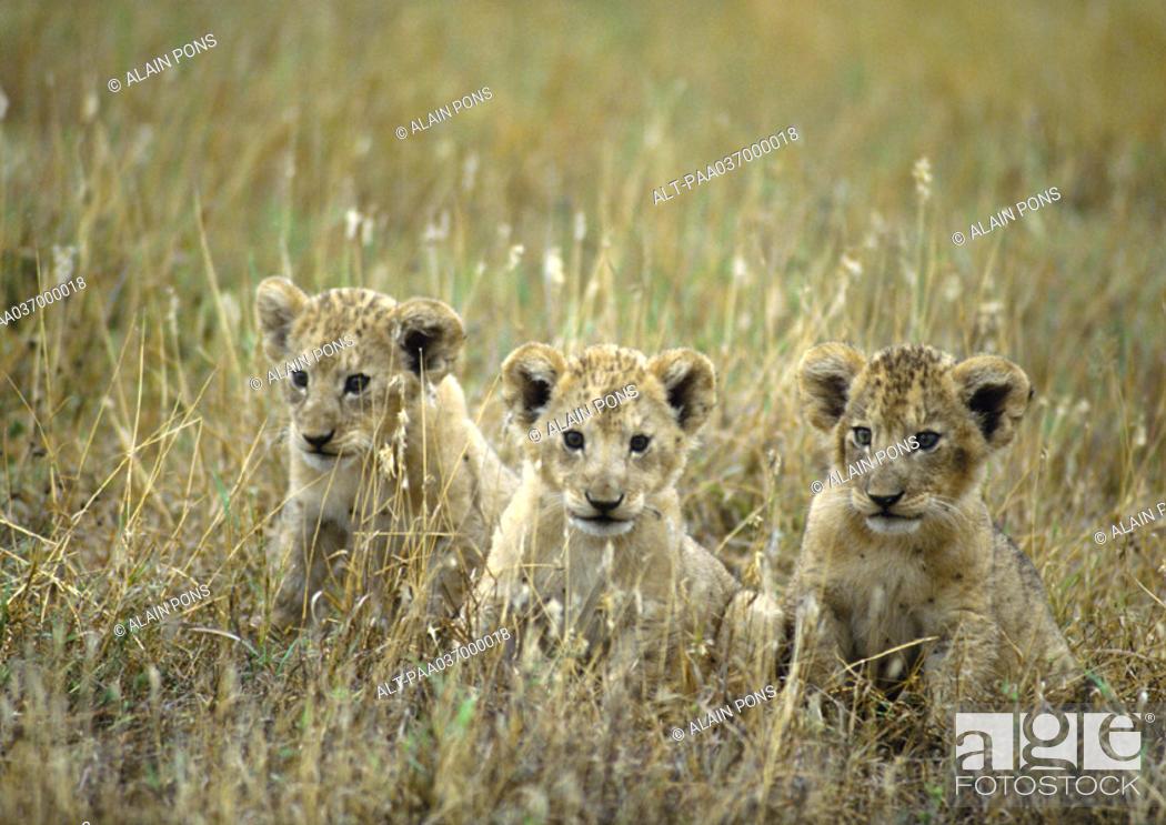 Stock Photo: Africa, Tanzania, lion cubs.
