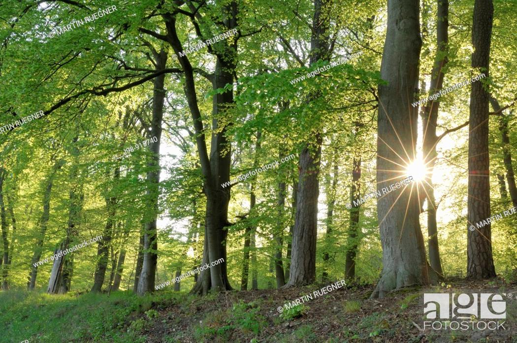 Stock Photo: Spring forest with sun in backlight, lens flare. Mecklenburg-Western Pomerania, Germany.