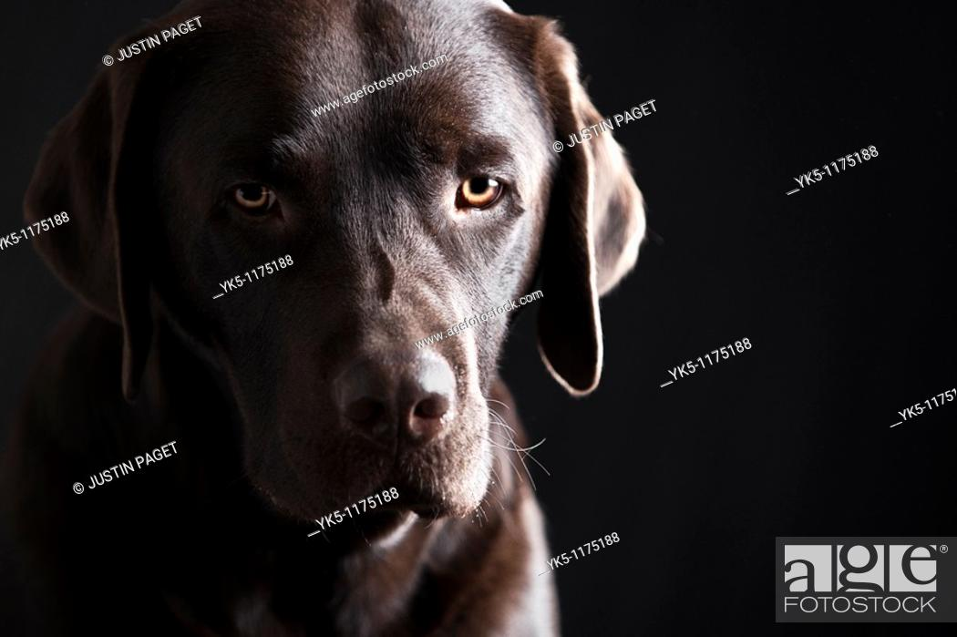 Stock Photo: Low Key Shot of a Sad Looking Chocolate Labrador Puppy.