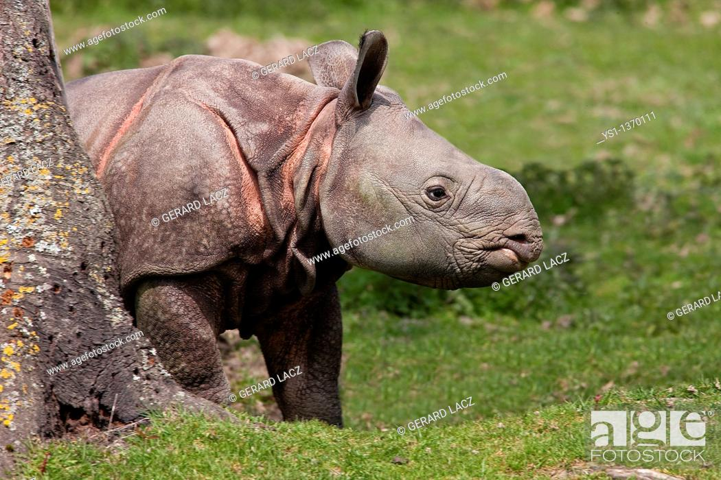 Stock Photo: INDIAN RHINOCEROS rhinoceros unicornis, CALF.