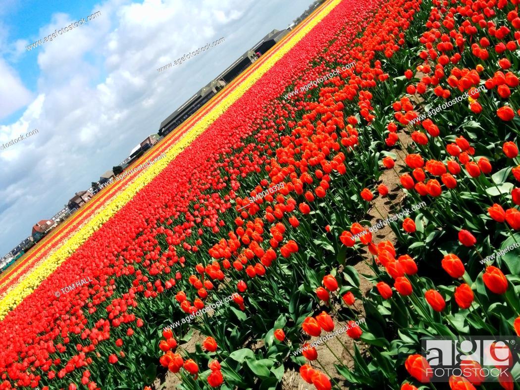 Stock Photo: Dutch tulip fields III.