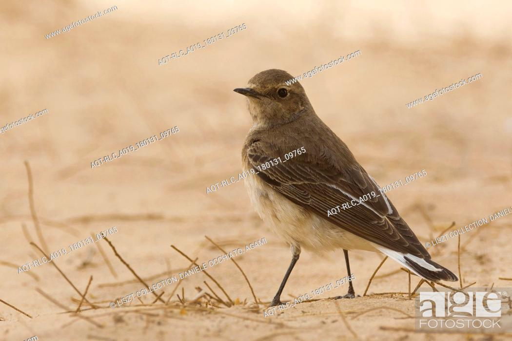 Stock Photo: Pied Wheatear, Oenanthe pleschanka.
