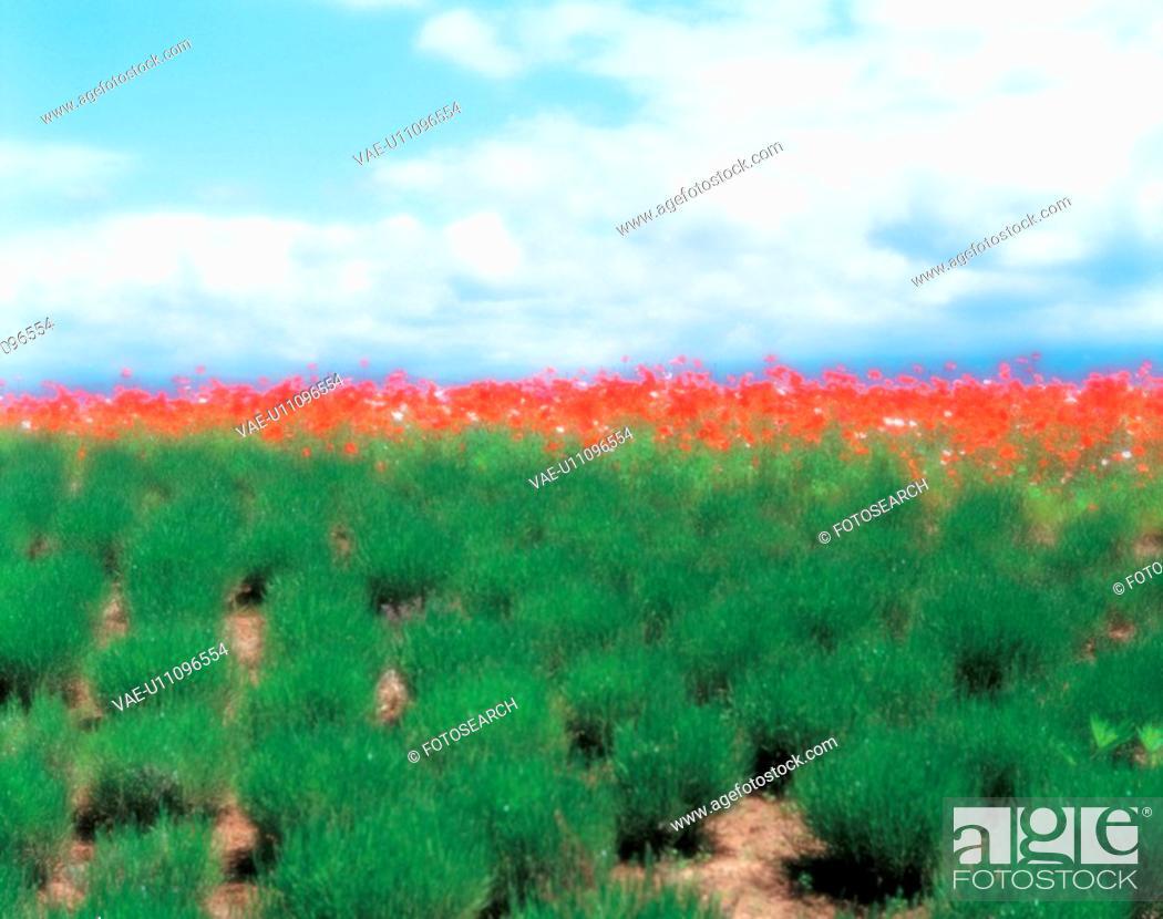 Stock Photo: cloud, landscape, sky, flower, field, scenery, nature.