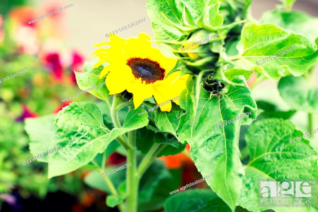 Stock Photo: gardening, flowers, nature and botany concept - close up of blooming sunflower in garden.