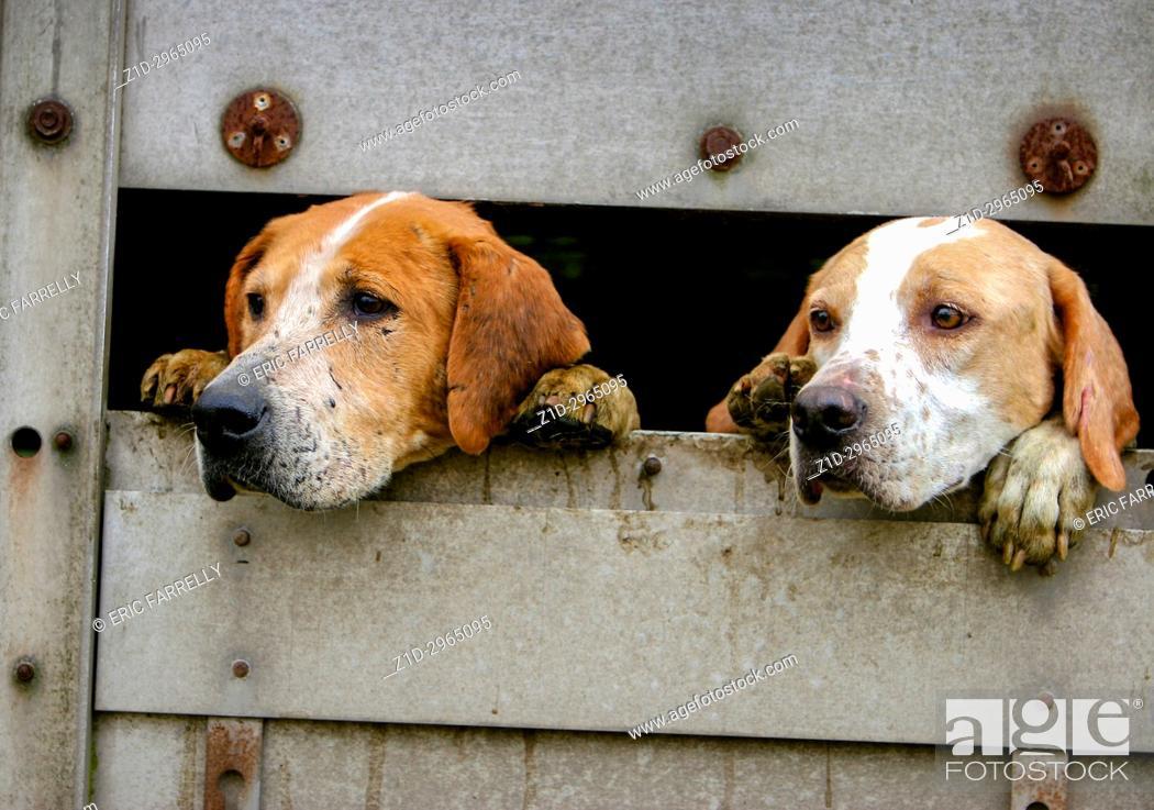 Imagen: eager hunting hounds in transit. Scotland UK.