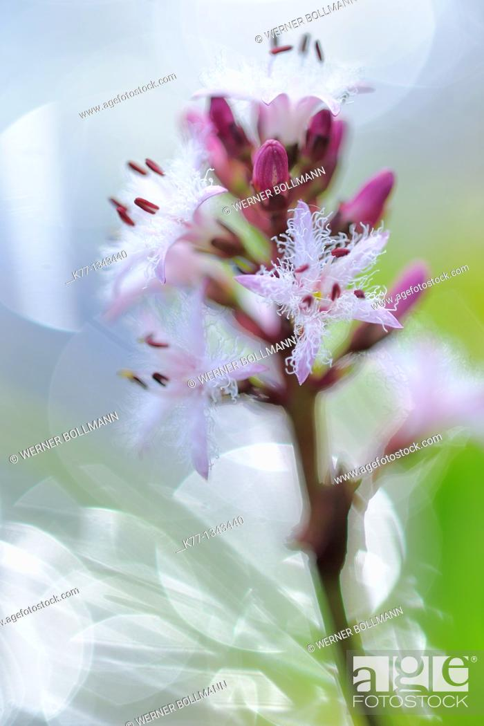 Stock Photo: Bogbean/Water Trefoil (Menyanthes trifoliata), Norway.