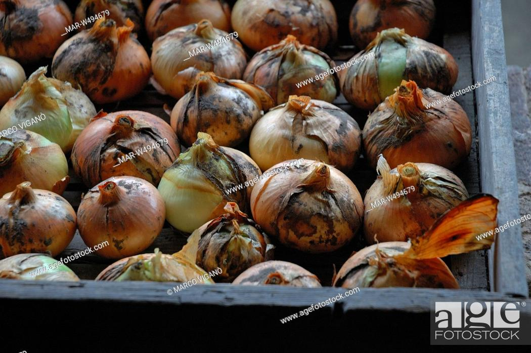 Stock Photo: cipolle.