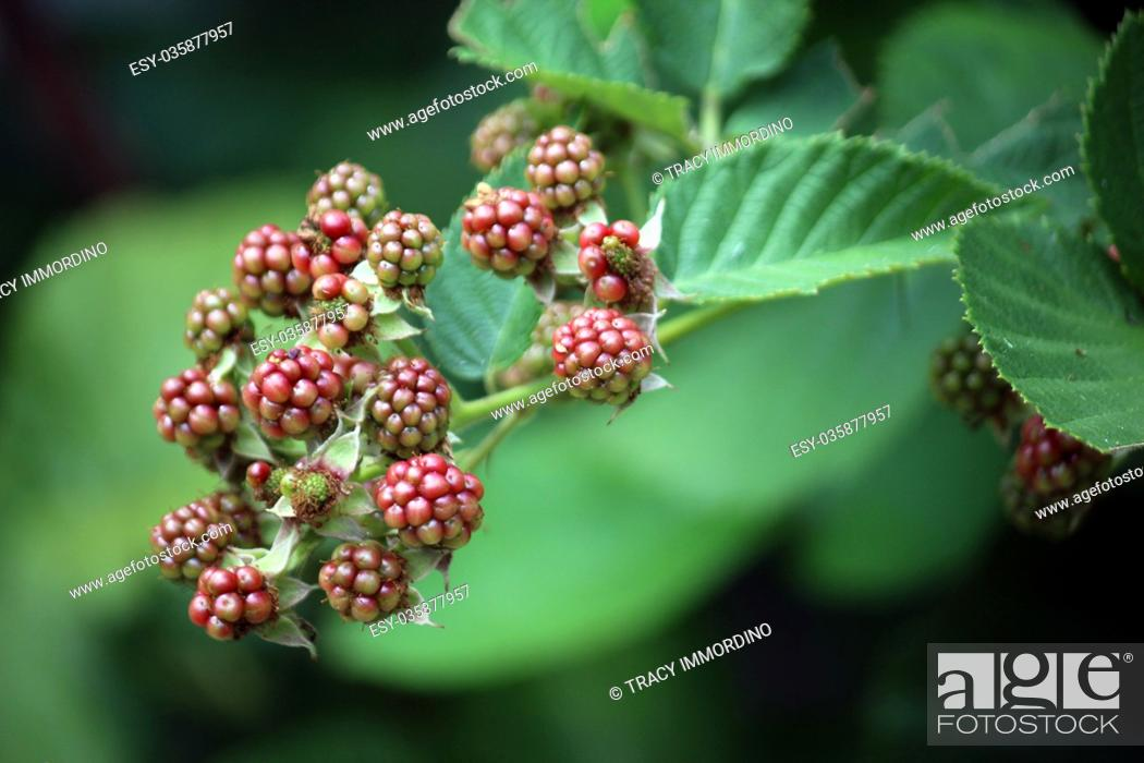 Stock Photo: Macro shot of blackberries beginning to ripen on a branch using a bokeh effect.