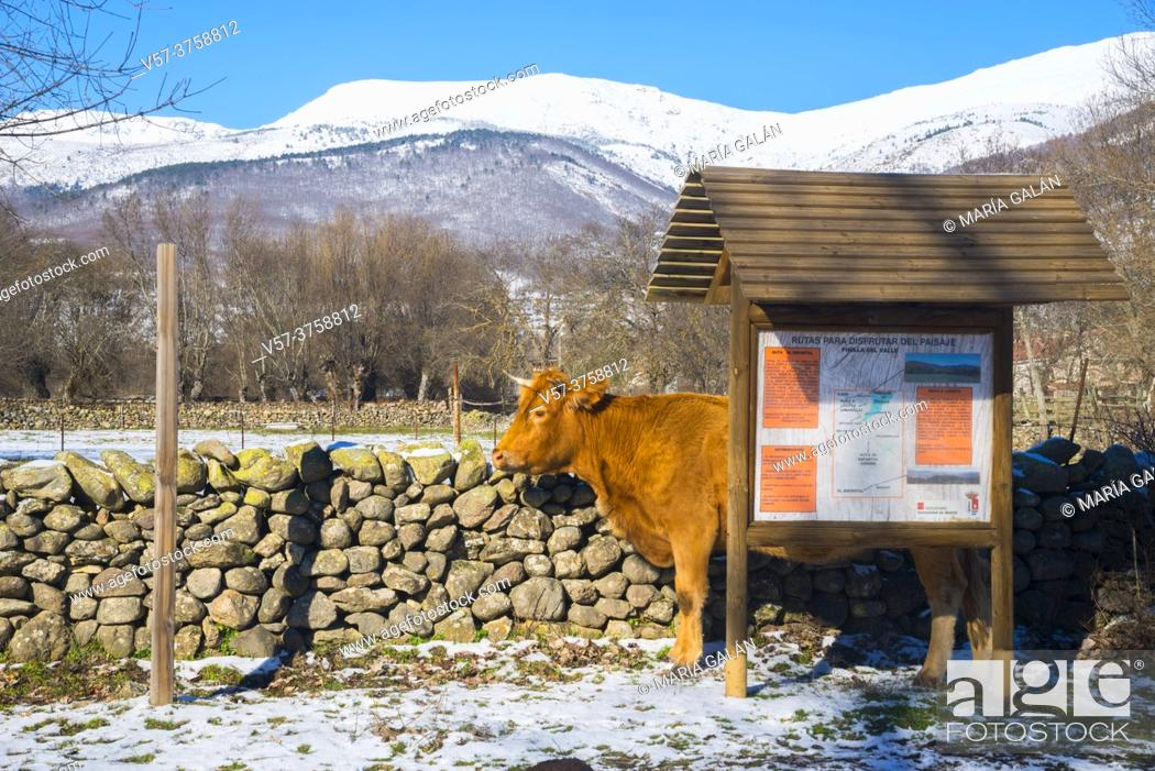 Stock Photo: Cow hidden behind a information sign. Pinilla del valle, Madrid province, Spain.