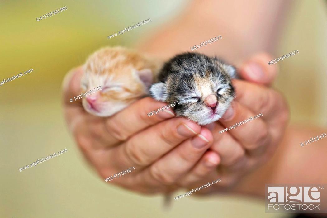 Stock Photo: Germany, Mature woman holding newborn kittens, close up.
