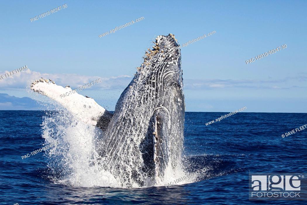 Stock Photo: Hawaii, An adult Humpback Whale Megaptera Novaeangliae breaching in the begining of Whale Season.
