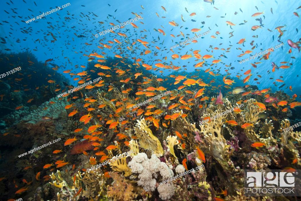 Stock Photo: Lyretail Anthias over Coral Reef, Pseudanthias squamipinnis, Brother Islands, Red Sea, Egypt.