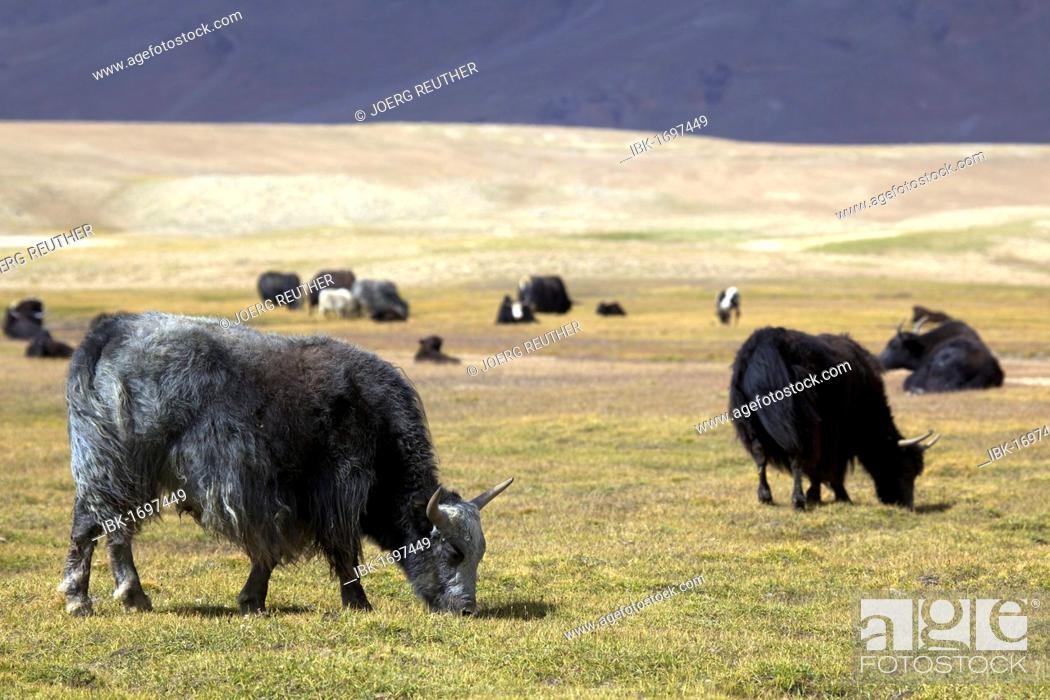 Stock Photo: Yaks (Bos mutus), Pamir, Tajikistan, Central Asia.