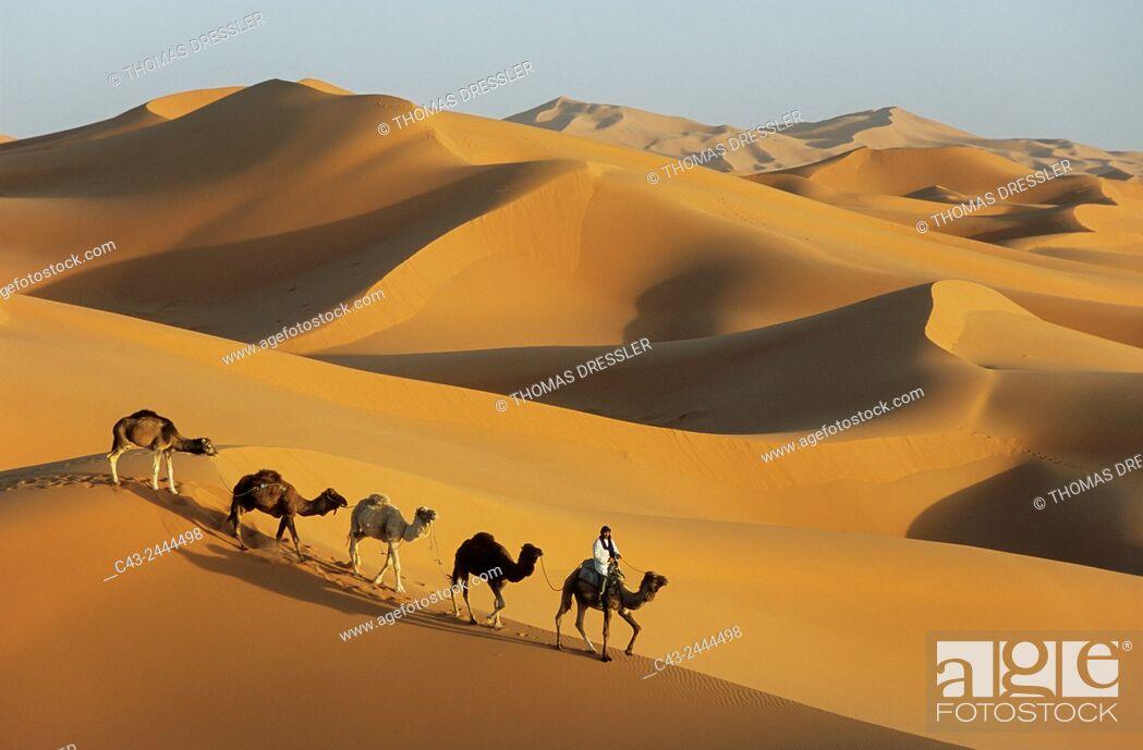 Imagen: Berber with dromedaries in the great sand dunes of Erg Chebbi near the village of Merzouga in the Sahara desert. Southeast Morocco.