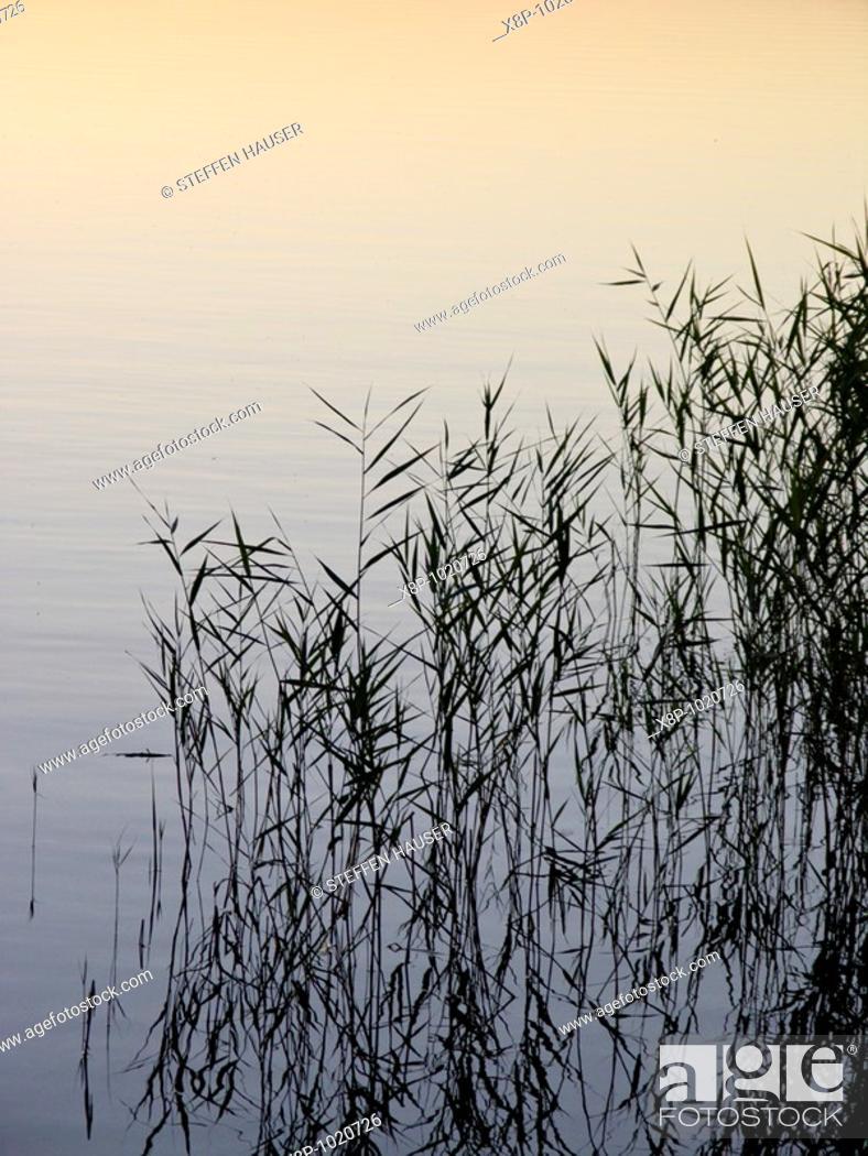Stock Photo: Reed Phragmites australis.