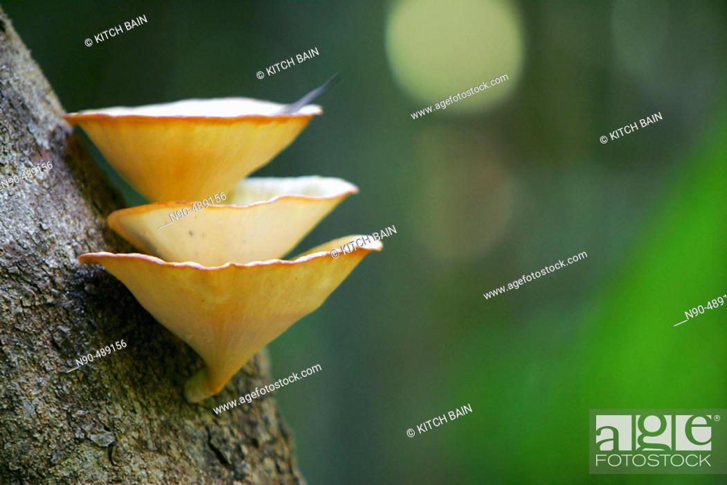 Stock Photo: Fungi (Polyporus arcularius). Australia.