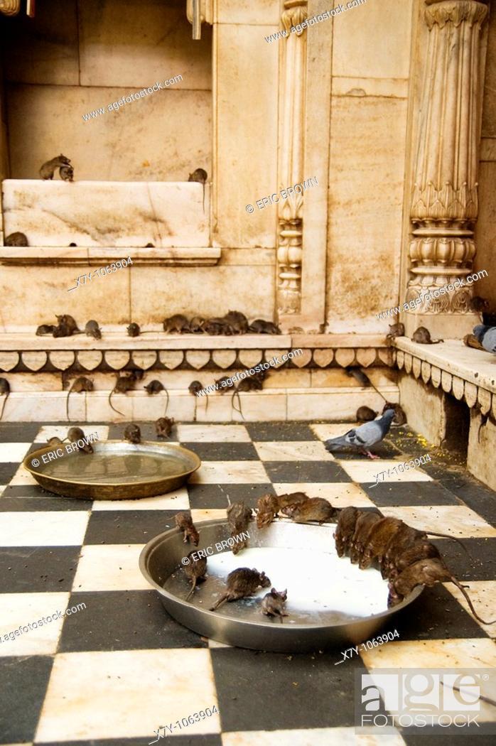 Stock Photo: Rats drink milk inside the Karni Mata temple in Deshnoke, India  Rats are honored here.