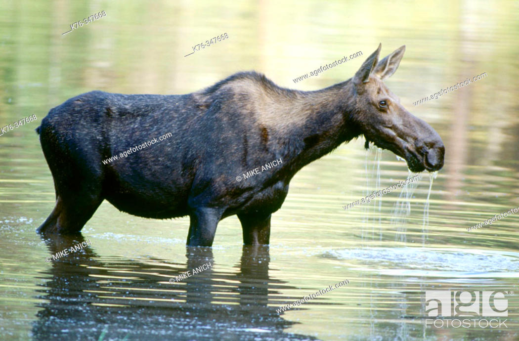 Stock Photo: Cow Moose (Alces alces). Bitterroot Mountains, Montana. USA.