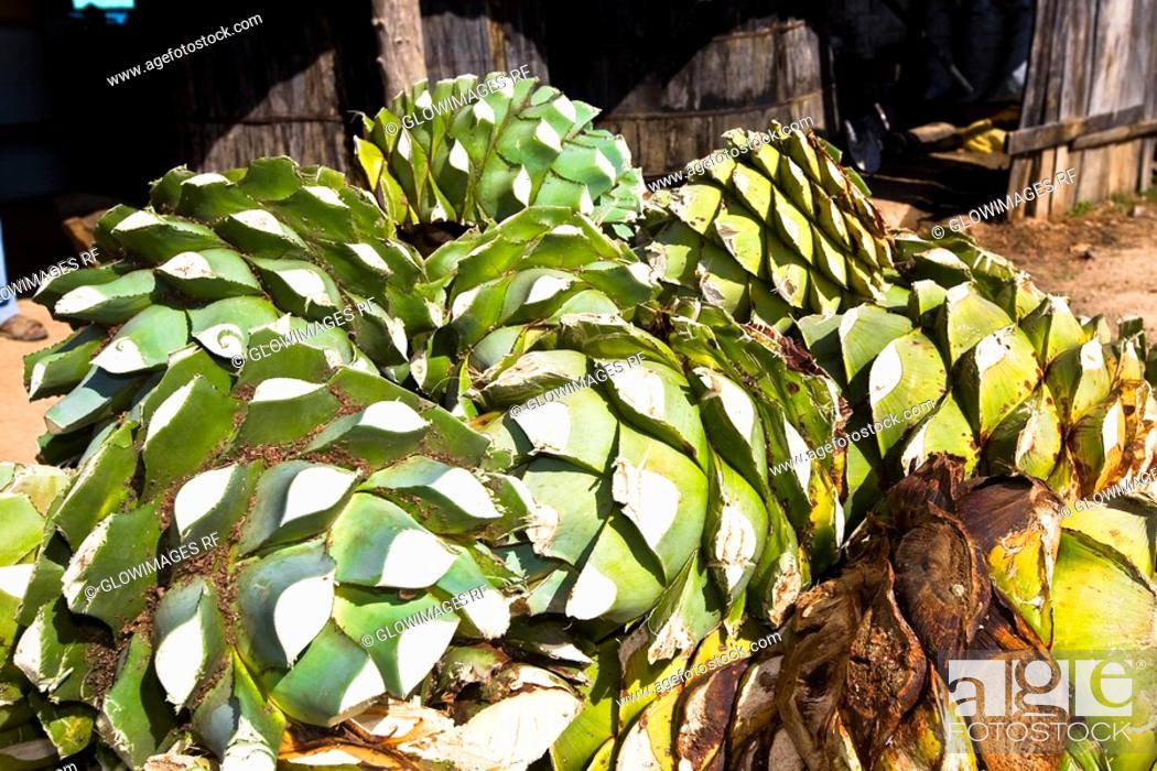 Stock Photo: Close-up of maguey plants, Hierve El Agua, Oaxaca State, Mexico.