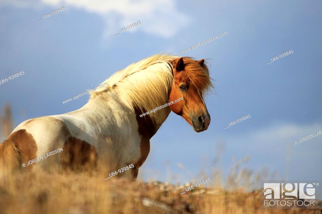 Stock Photo: Iclandic horse, Öland, Sweden.